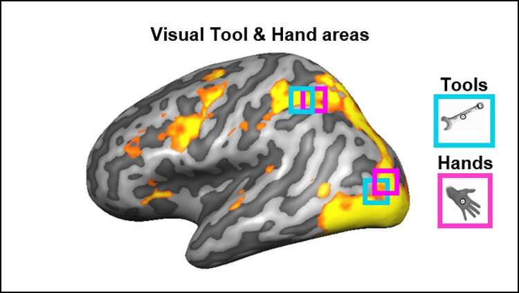Brain regions involved in vision also encode how to hold tools